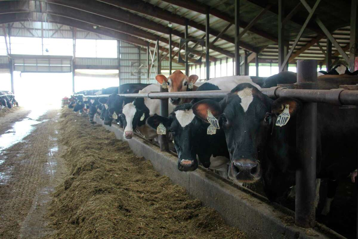 Jersey and Holstein cows stop eating feed to check out visitors July 8 at Sheridan Dairy.(Teresa Homsi/Huron Daily Tribune)