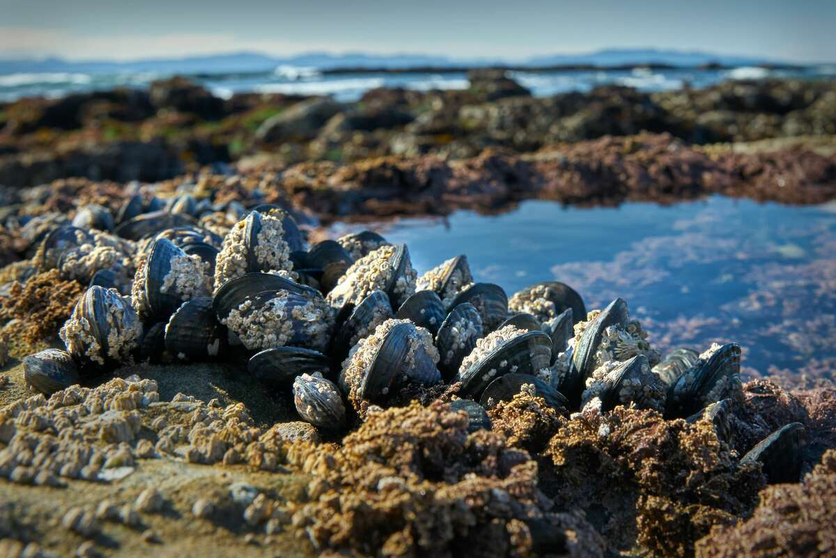 Clusters of mussels on the beach at Botanical Beach near Port Renfrew, British Columbia.