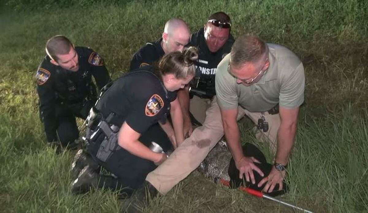 Officers are seen Wednesday night as they subdue an alligator off a Willis road.