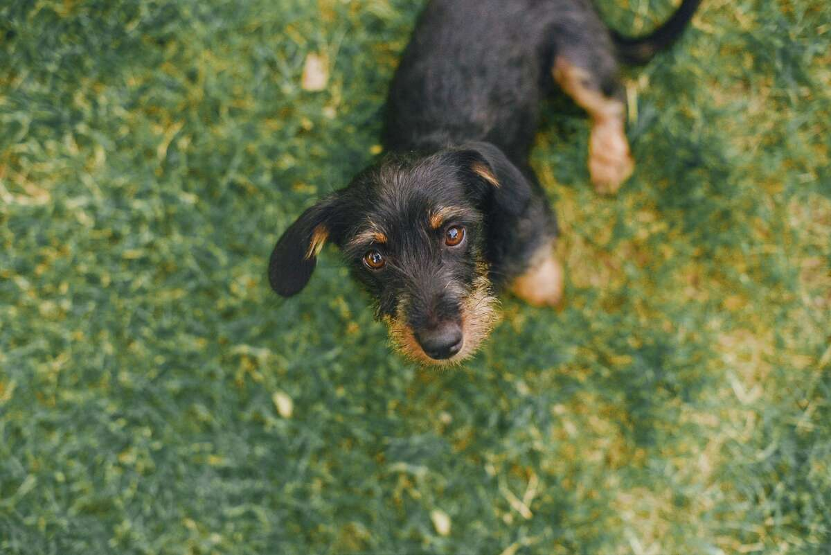 Early reports suggest that pandemic puppies are here to stay. The American Society for the Prevention of Cruelty to Animals (ASPCA) and Hudson Valley shelters by and large said they are not seeing an increase in animal surrenders as pet owners slowly return to working outside the home.