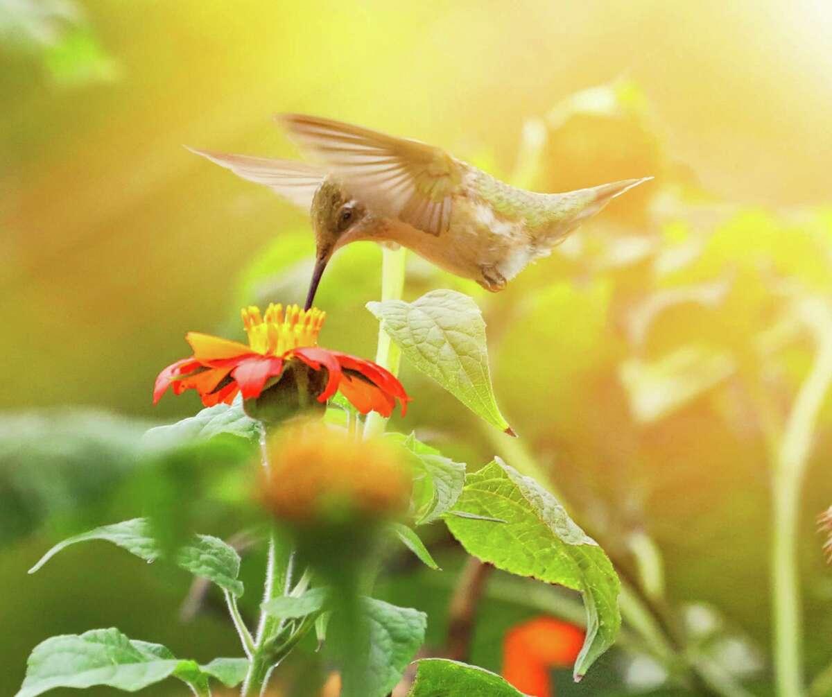 A ruby-throated hummingbird on a zinnia