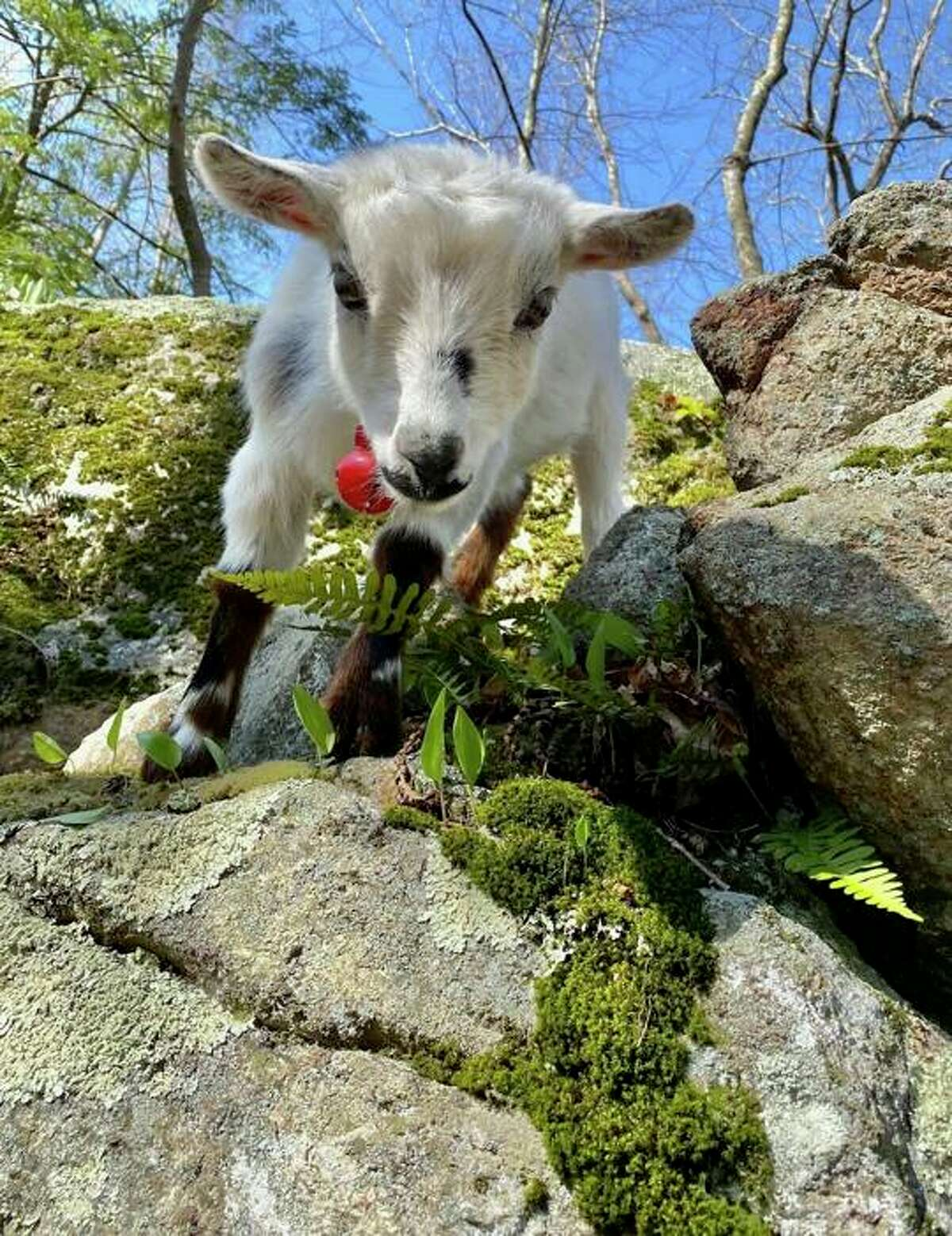 A young goat on one of Kristen Sassano Gill's hikes.