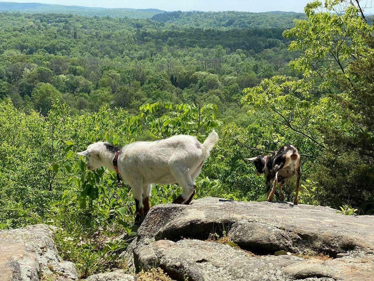 Goats on one of Kristen Sassano Gill's hikes.