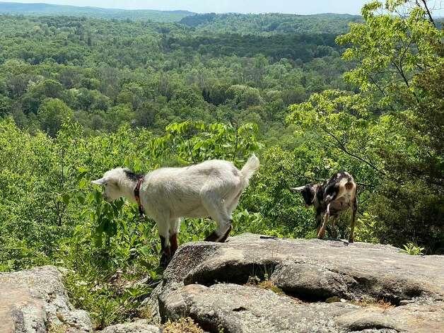 Goats on one of Kristen Sassano Gill's hikes. Photo: Kristen Sassano Gill