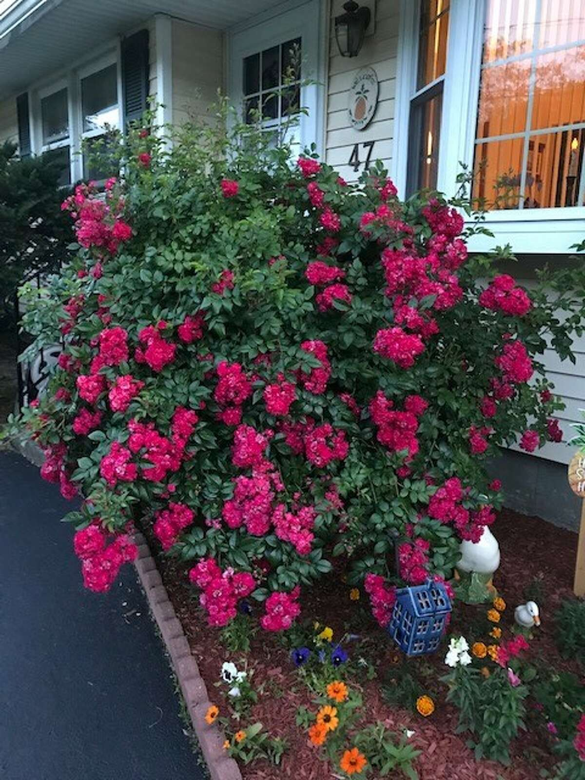 Tea roses are in bloom at the home of Mike Novack of Loudonville.