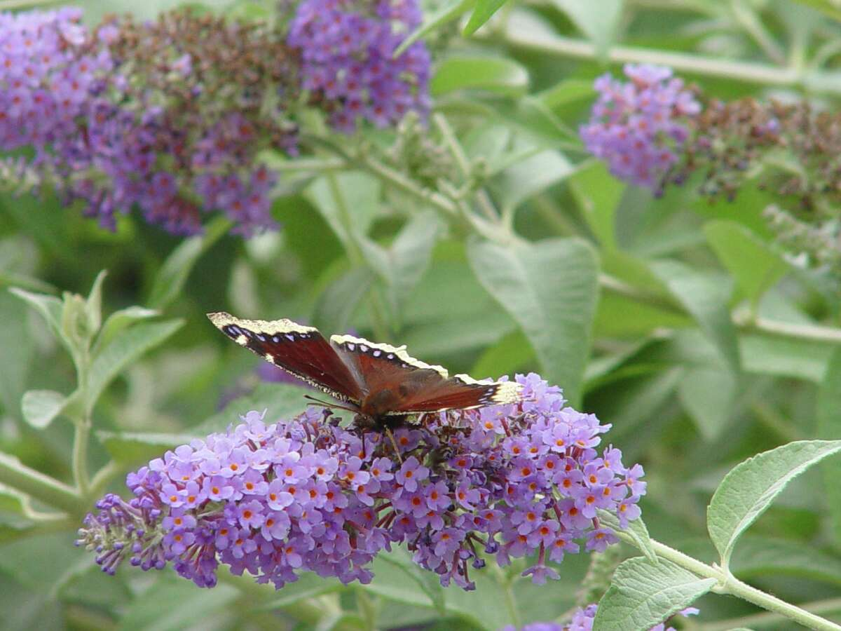 Fast-growing summer bloomers, Buddleia bushes are often decorated with butterflies.