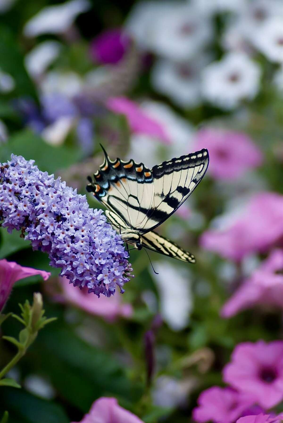 This Eastern Tiger Swallowtail visits a Pugster Amethyst buddleia that is surrounded by Supertunia Vista petunias.