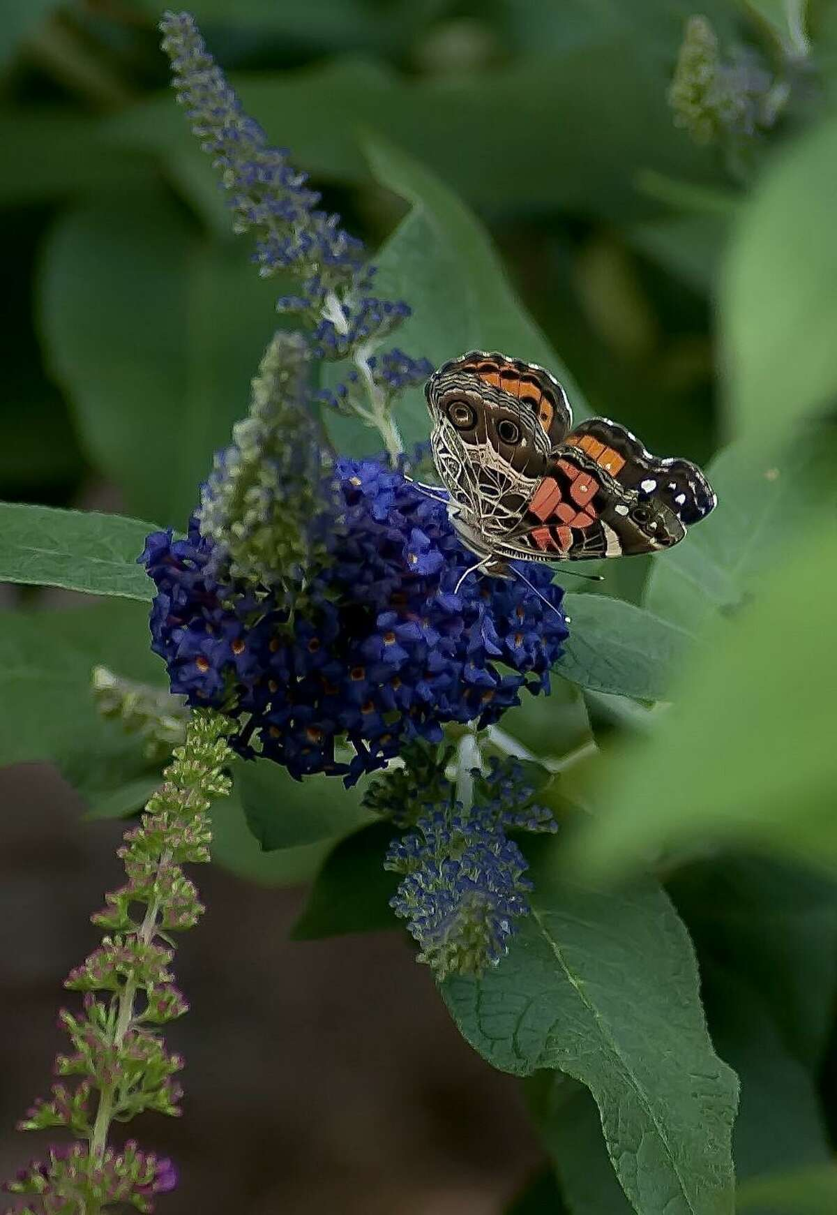 This American Lady butterfly creates a stunning contrast with the intense color of Pugster Blue buddleia.