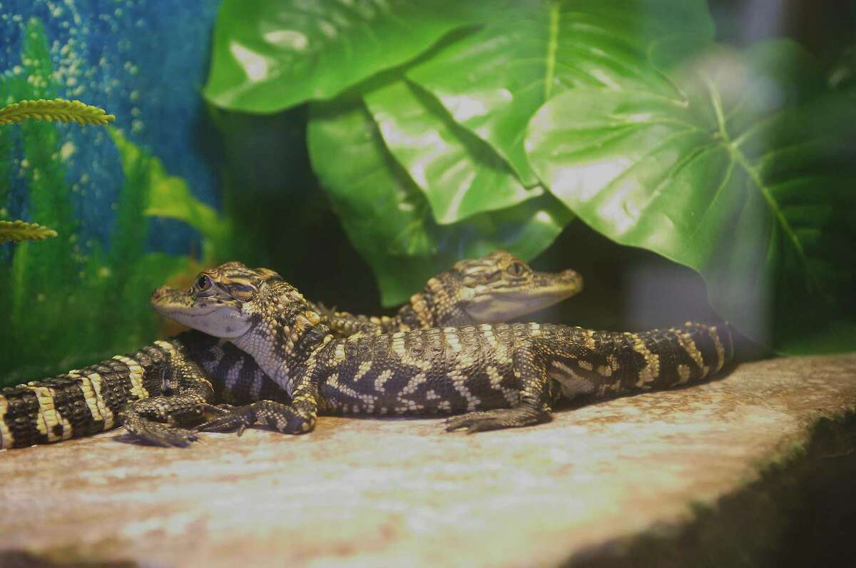 Young alligators are among native species on display at the nature center.