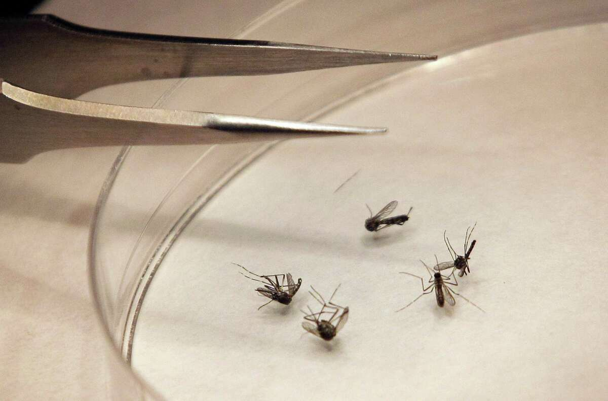 This file photograph taken on Aug. 16, 2012 shows mosquitoes getting sorted at the Dallas County mosquito lab in Dallas.