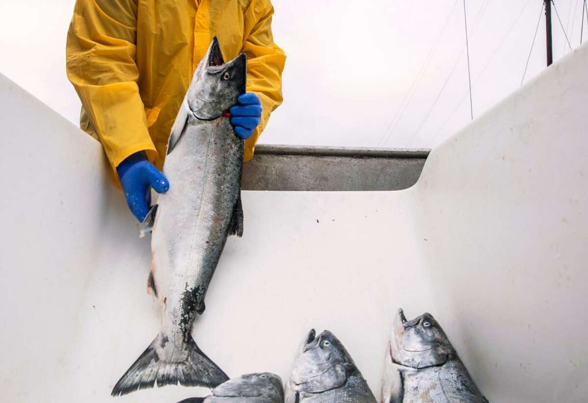 A fish processor works through a haul of salmon at Fisherman's Wharf in San Francisco in 2019.