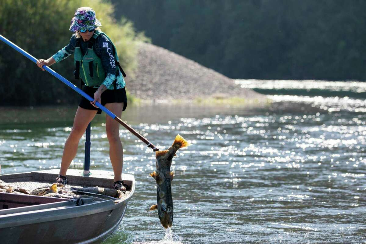 Pacific States Marine Fisheries Commission fisheries technician Kaitlin Whittom retrieves a dead salmon.