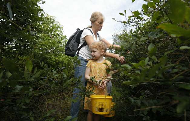 Charlie Pruhs, right, picks blueberries with Melody Forthorson at Moorhead's Blueberry Farm, Saturday, July 10, 2021, in Conroe. Photo: Jason Fochtman/Staff Photographer / 2021 ? Houston Chronicle