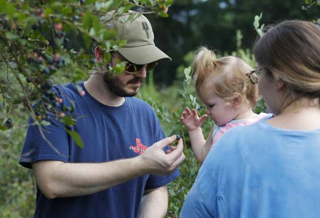 Corey Spangler hands his 15-month-old daughter, Emilia, a blueberry during a visit to Moorhead's Blueberry Farm, Saturday, July 10, 2021, in Conroe. Photo: Jason Fochtman/Staff Photographer / 2021 ? Houston Chronicle