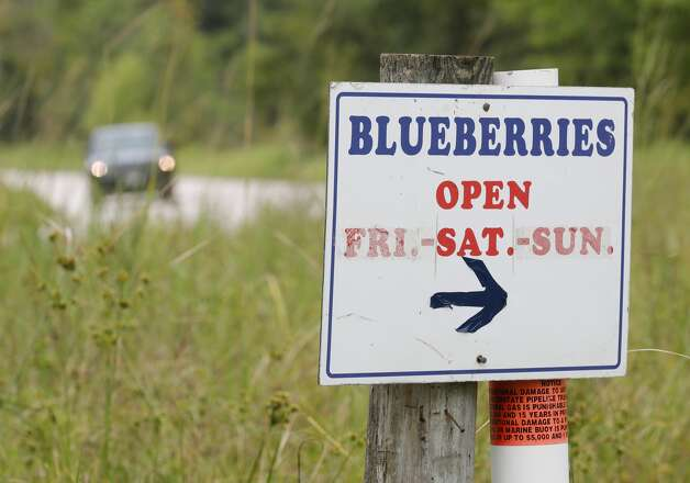 Moorhead's Blueberry Farm will remain open for another two weeks after the hard freeze in February extended this yearÕs harvest, Saturday, July 10, 2021, in Conroe. Photo: Jason Fochtman/Staff Photographer / 2021 ? Houston Chronicle