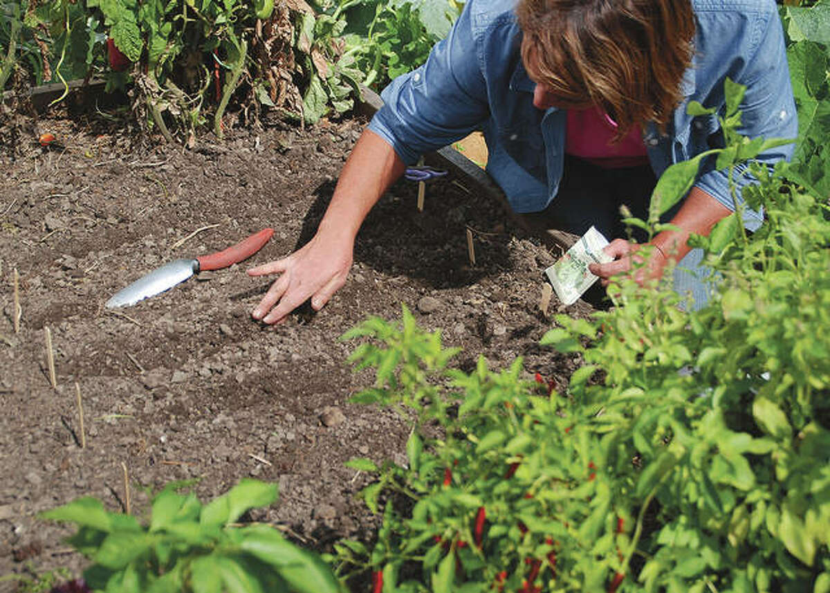 For a fall harvest, plant areas in the garden that were not planted this spring or replant rows of quick maturing vegetables that have already been harvested.