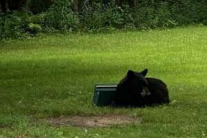 Niskayuna police said this bear was seen Sunday after various spots around the town. The state Department of Environmental Conservation was notified of the ursine intruder and the town was urging residents to keep small children and pets inside until the animal's location is known.