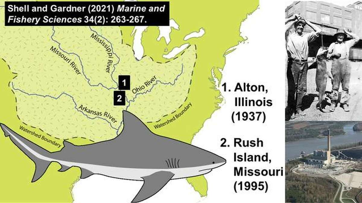 Though rare, researchers have affirmed two Mississippi River sightings of bull sharks - one in Alton one in 1937 and one near Festus, Missouri, in 1995.