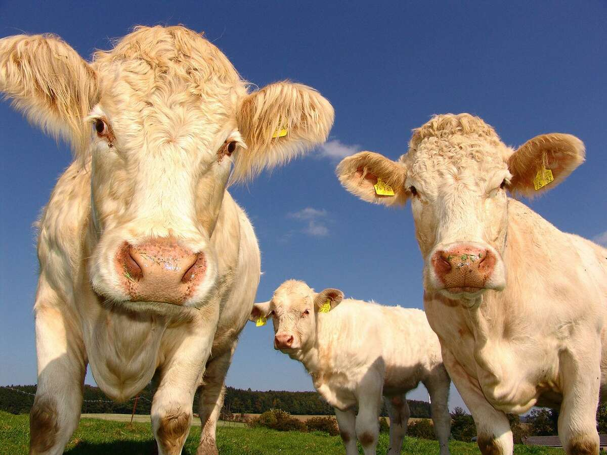 Rabies in livestock, such as cattle, may be rare, but its ability to spread through the herd still poses a serious risk.