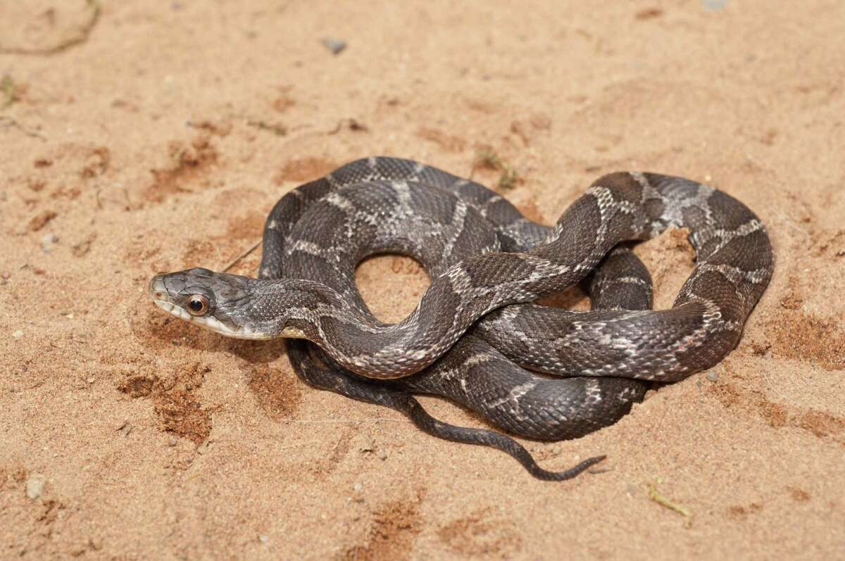 Rat snakes are beneficial as one of nature's best forms of pest control. Rats and mice don't stand a chance against rat snakes. They also dine on lizards, squirrels, frogs and birds.