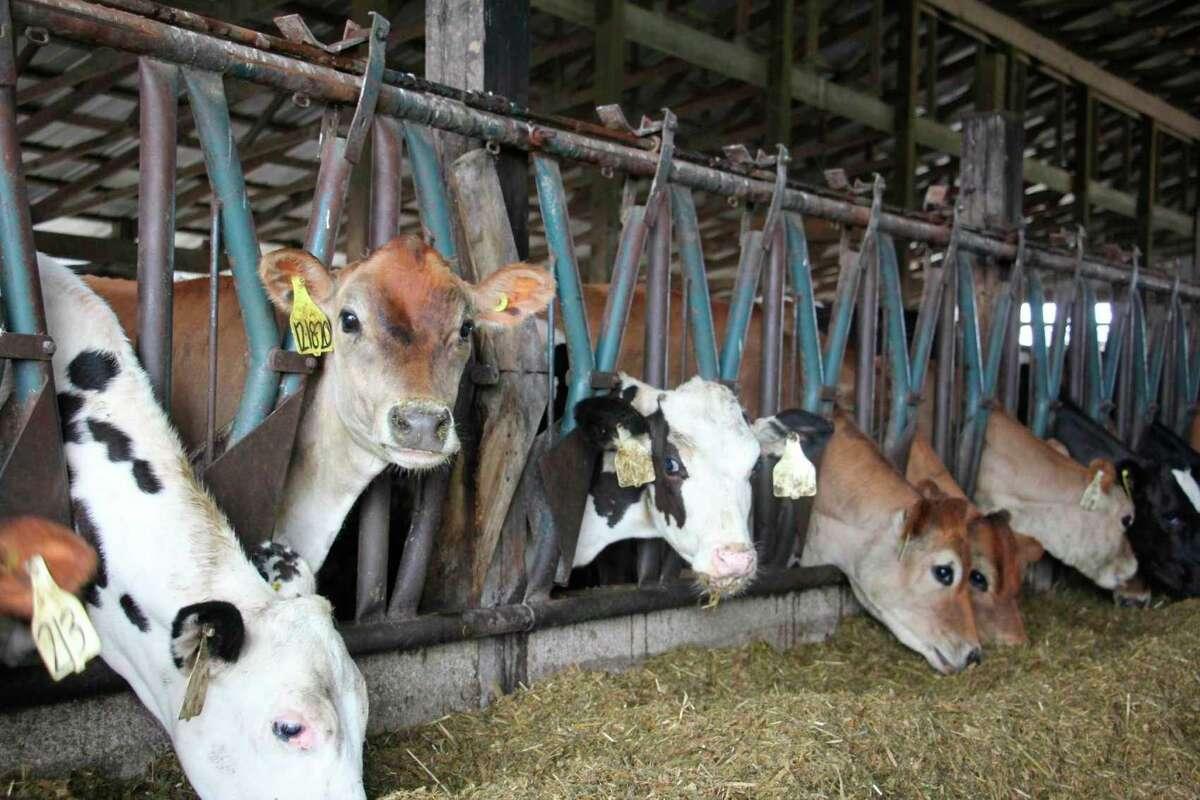 A Jersey calf pauses eating feed to pose for a photo July 8 at Sheridan Dairy. (Teresa Homsi/Michigan Hearst photo)