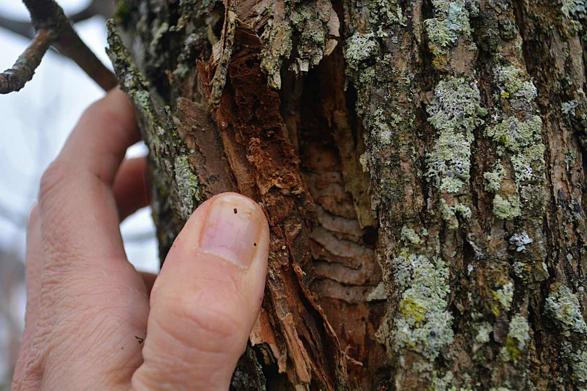 In 2017, Emerald Ash Borers killed every one of the 40 ash trees on Ribera Drive in Middletown, a cul de sac off Chamberlain Road.