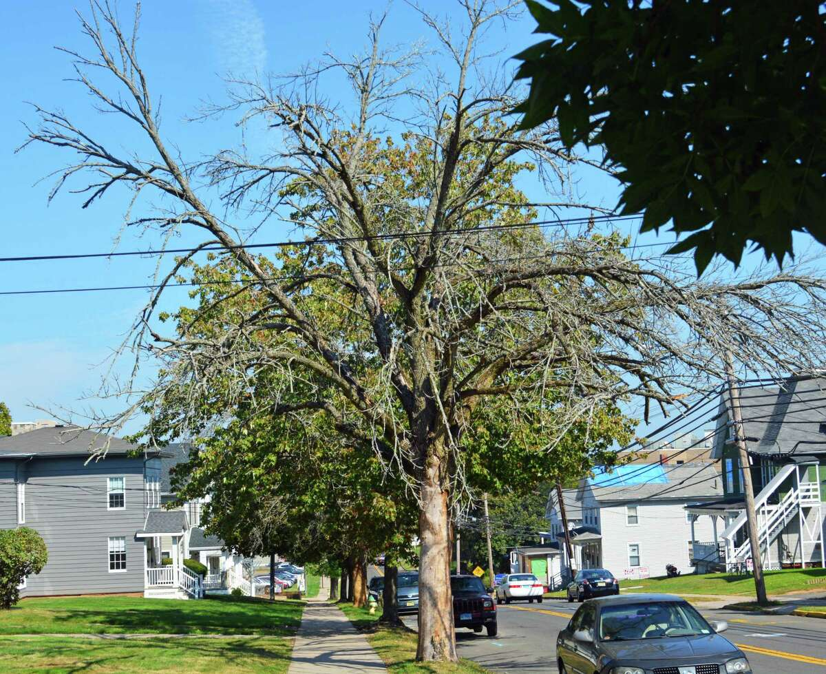 A handful of elm trees at the corner of Church and High streets in Middletown were destroyed by the emerald ash borer in 2019. They were later taken down by public works crews.