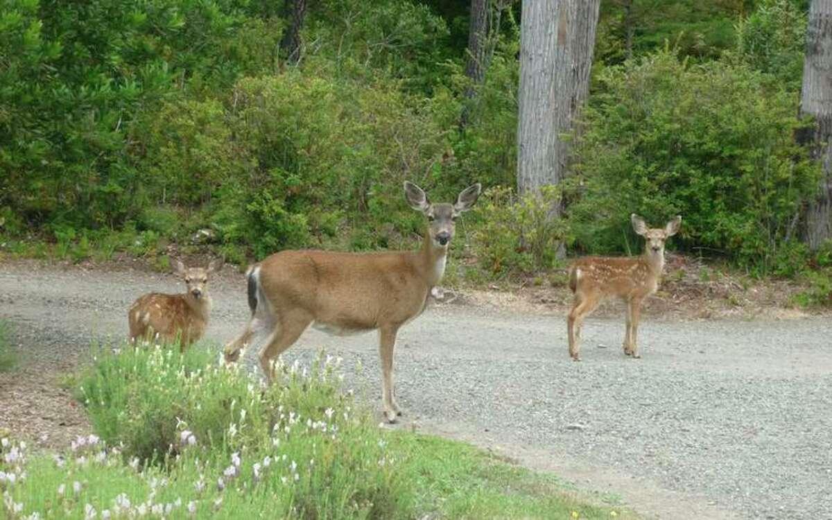 Deer command the road in Mendocino.
