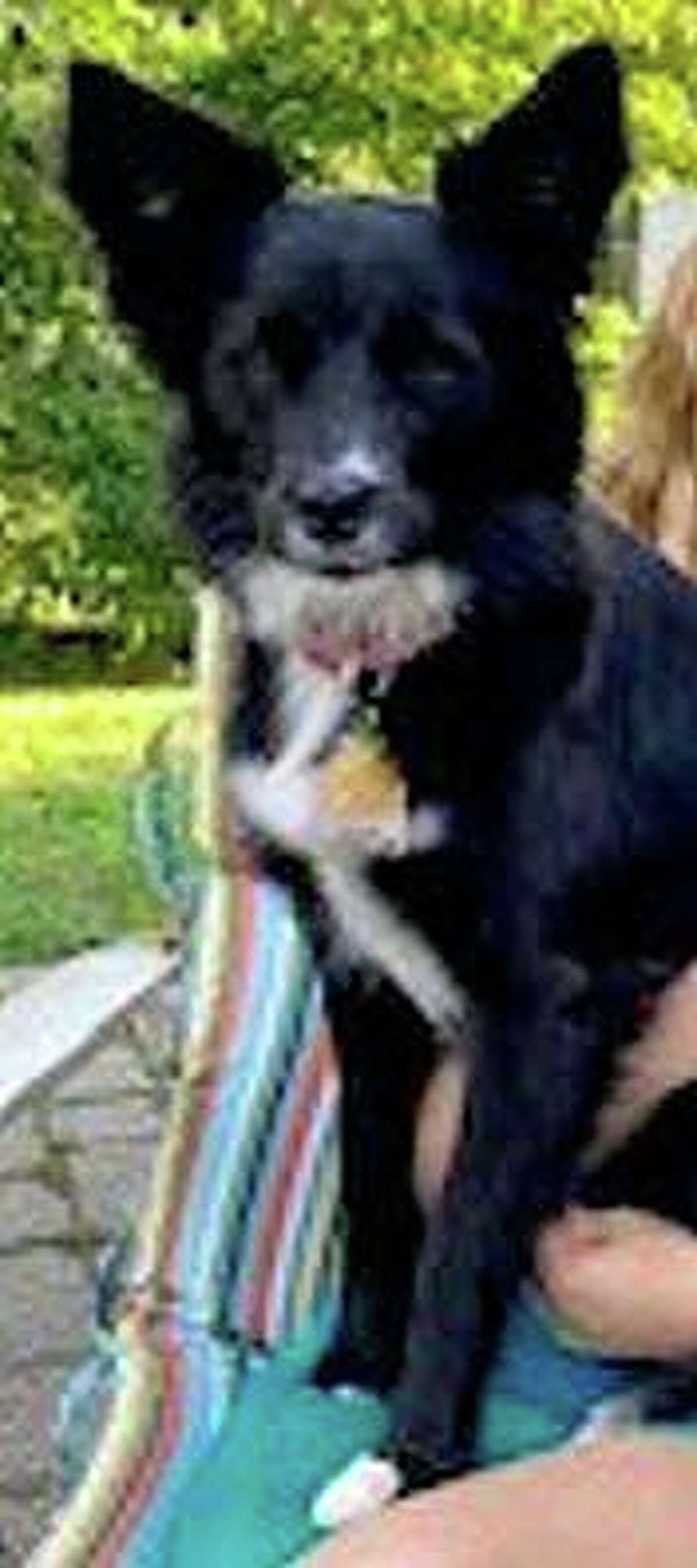 Police say this dog, Kelly, hasn't been seen since a serious crash on Route 5 in South Windsor, Conn., on Monday, July 12, 2021.