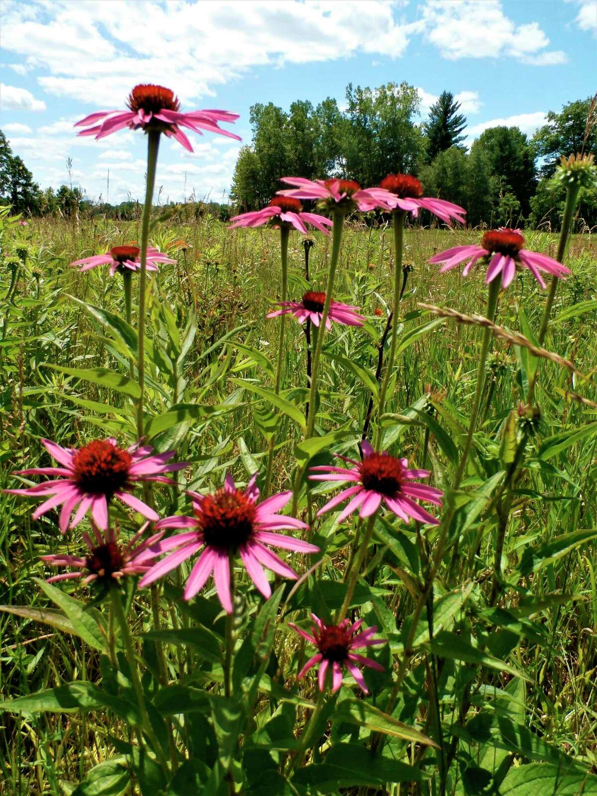 Purple coneflower grows at McLean Nature Preserve. (Photo provided)