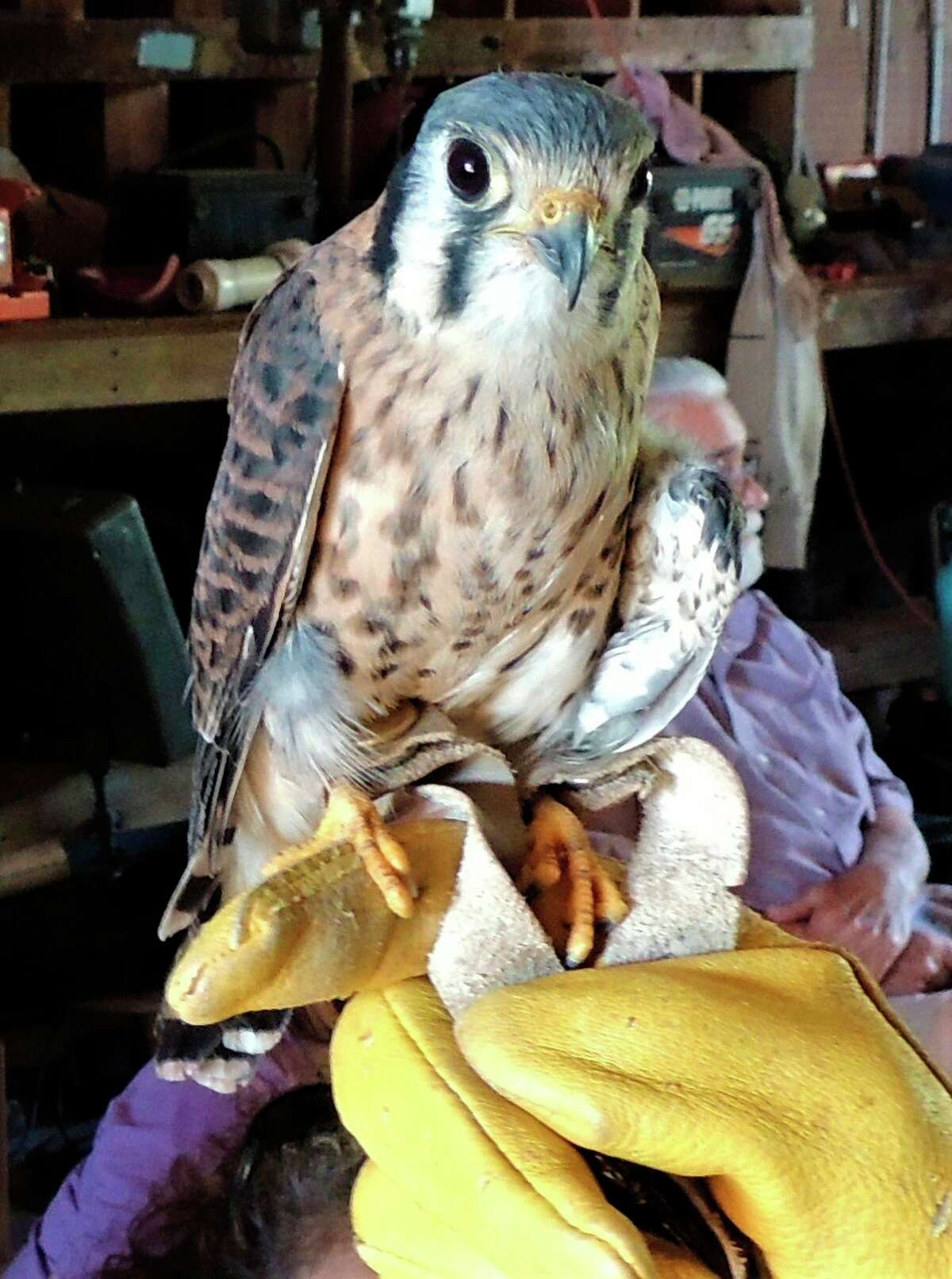 Barb and Joe Rogers of the Wildlife Recovery Association in Shepherd will present an educational program, a live hawk and owl show at 6 p.m. Tuesday, July 20 at McLean Nature Preserve. (Photo provided)
