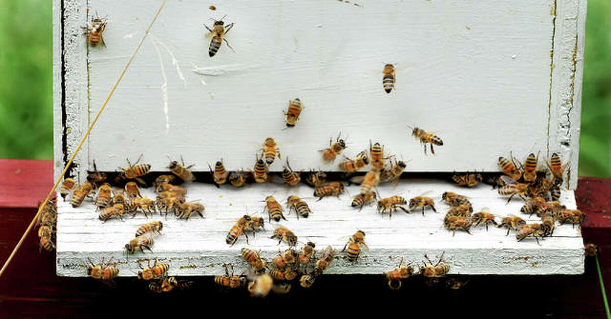 Bees at Tom Simpson's apiary of 80 to 100 hives at his home in Edwardsville.