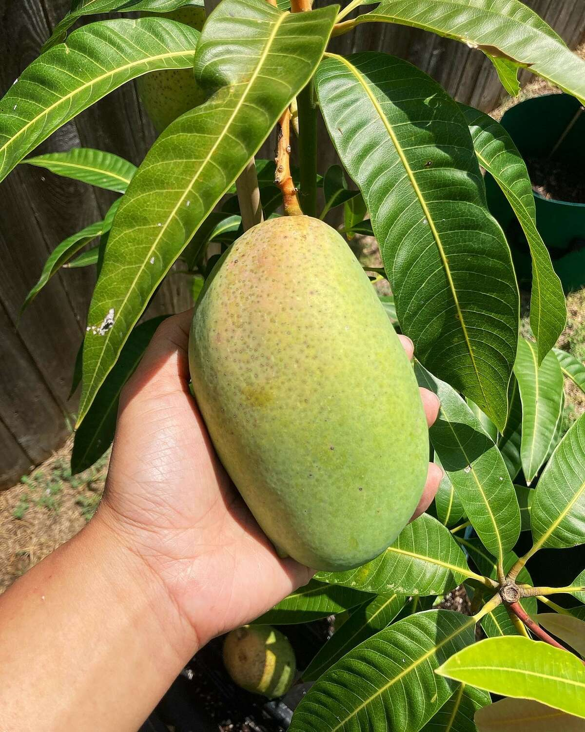 """Emily Mahoney brought her mango tree, also known as a """"dwarf"""" or """"condo mango,"""" from Florida when she moved to Texas in February."""