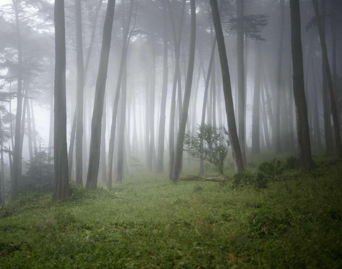 Cypress trees stand amid the fog in San Francisco's Presidio.