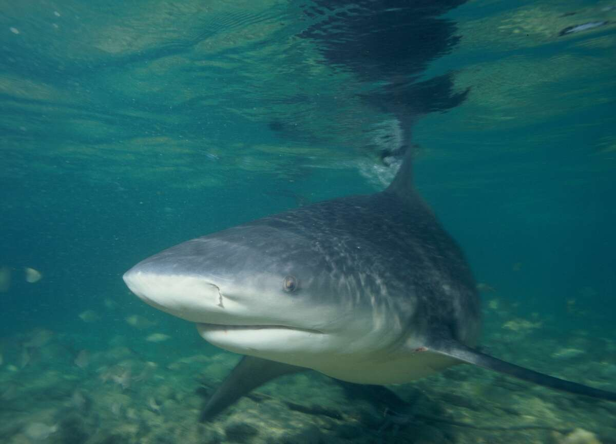 Bull sharks can survive in both salt and fresh water. It is believed they can make their way up the Mississippi River via its confluence with the Gulf of Mexico.