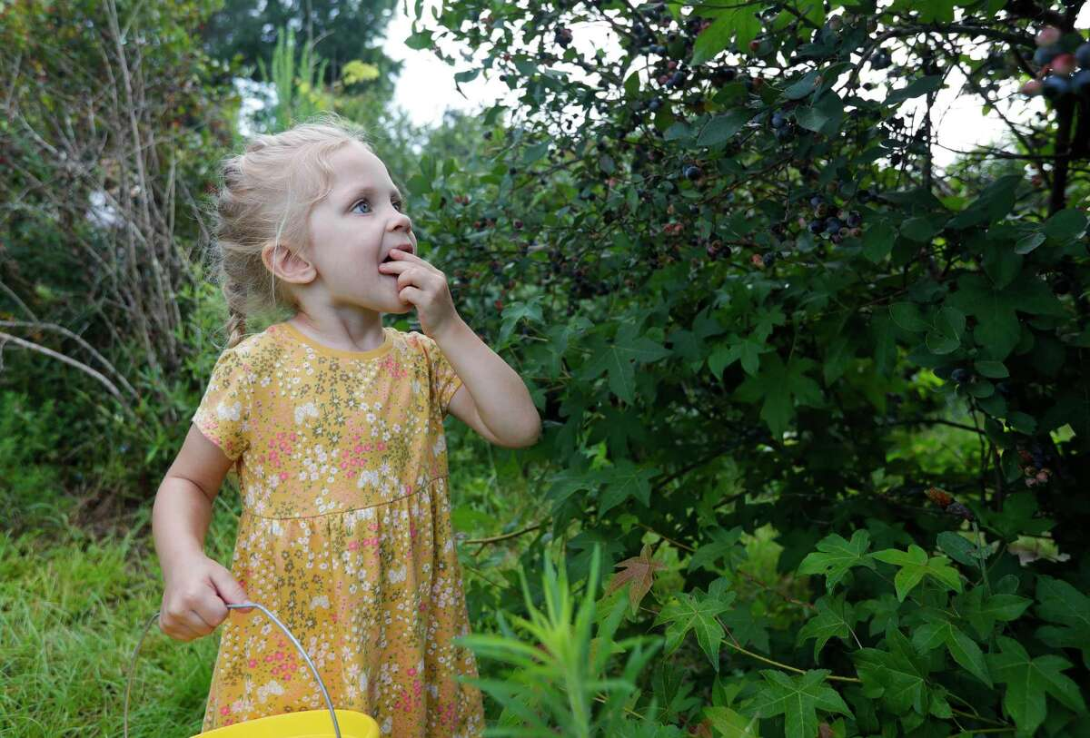 Abby Pruhs samples a blueberry before putting part of a handful into her bucket during a family visit to Moorhead's Blueberry Farm, Saturday, July 10, 2021, in Conroe.