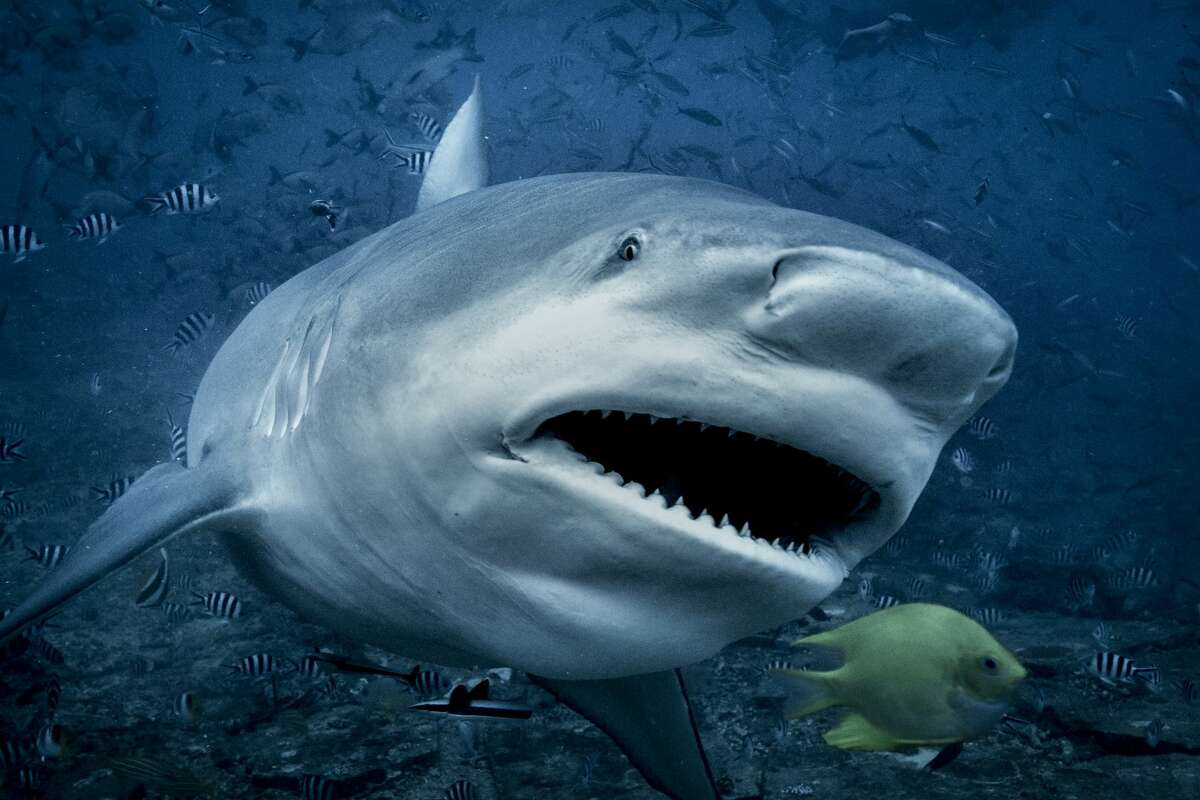 Bull sharks are one of the most common sharks found in the Texas waters of the Gulf of Mexico.
