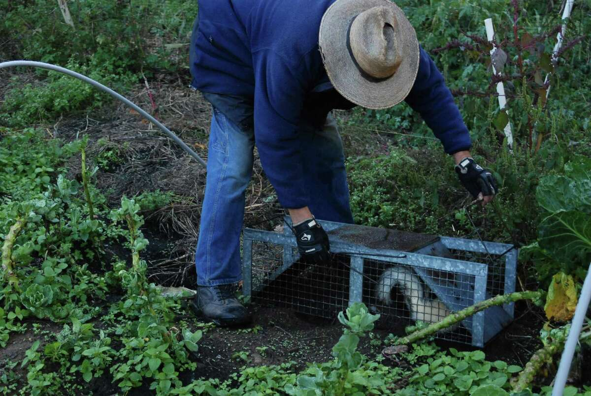 John Holbrook sets a skunk free at his farm in Bethel.