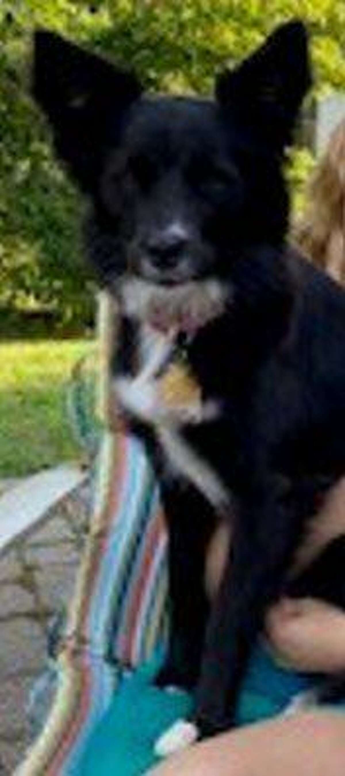 Kelly, a dog who went missing after a crash in South Windsor, Conn. on Monday, July 12, 2021. Police said the dog was located the following day and has been reunited with the owner, but it's unclear where Kelly was found or how.