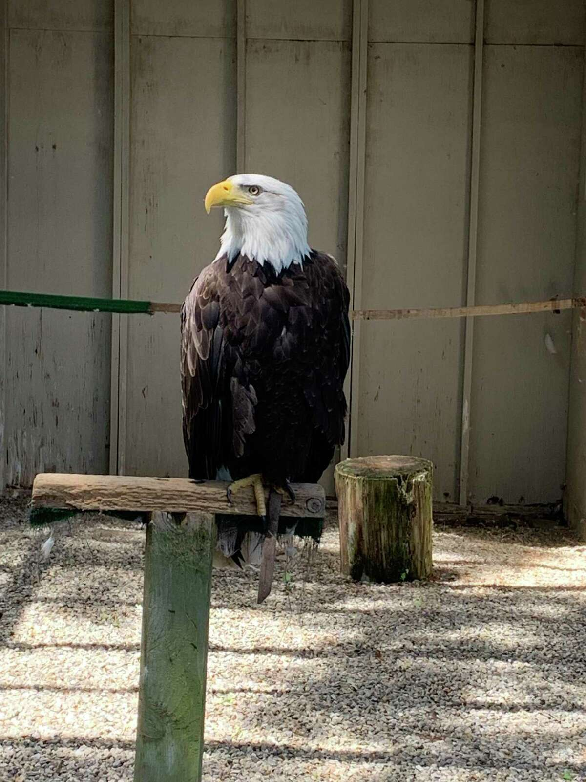 Some of the eagles from Earthplace's Animal Hall in Westport. The nonprofit organization, which seeks to teach families about the natural world, is matching donations made throughout July 2021 to help pay for the care and feeding of its birds of prey.
