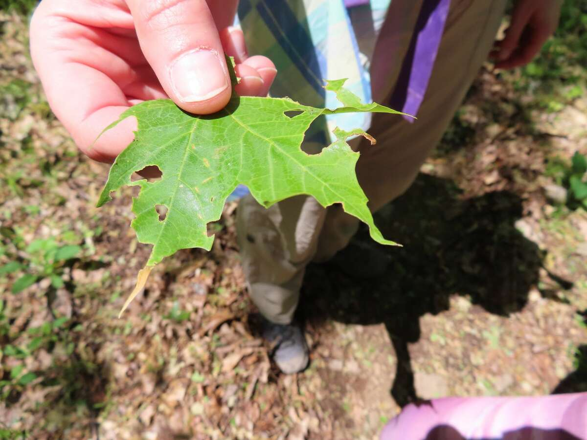 A caterpillar-gnawed leaf along a trail in the Adirondacks.
