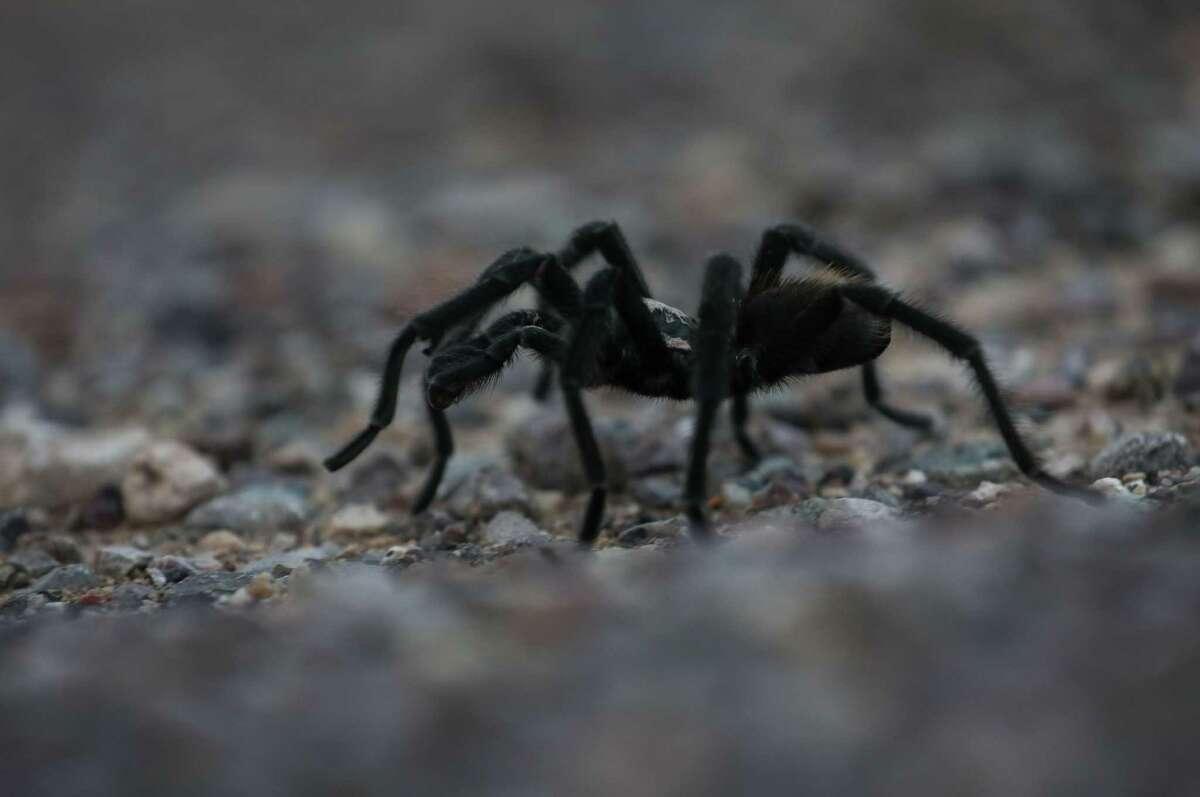 A tarantula crosses Texas 54 on Wednesday, June 30, 2021, near Van Horn.