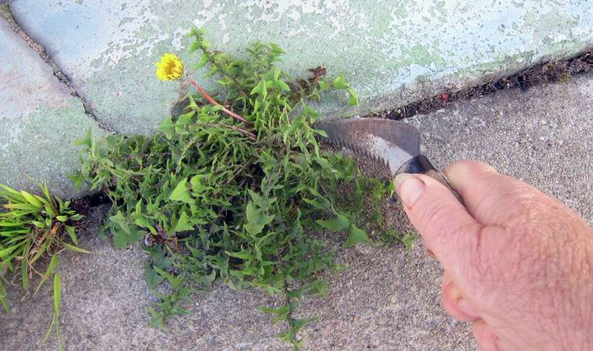 This hand tool, called a sod and sickle saw, can dig up perennial weeds from sidewalk cracks.
