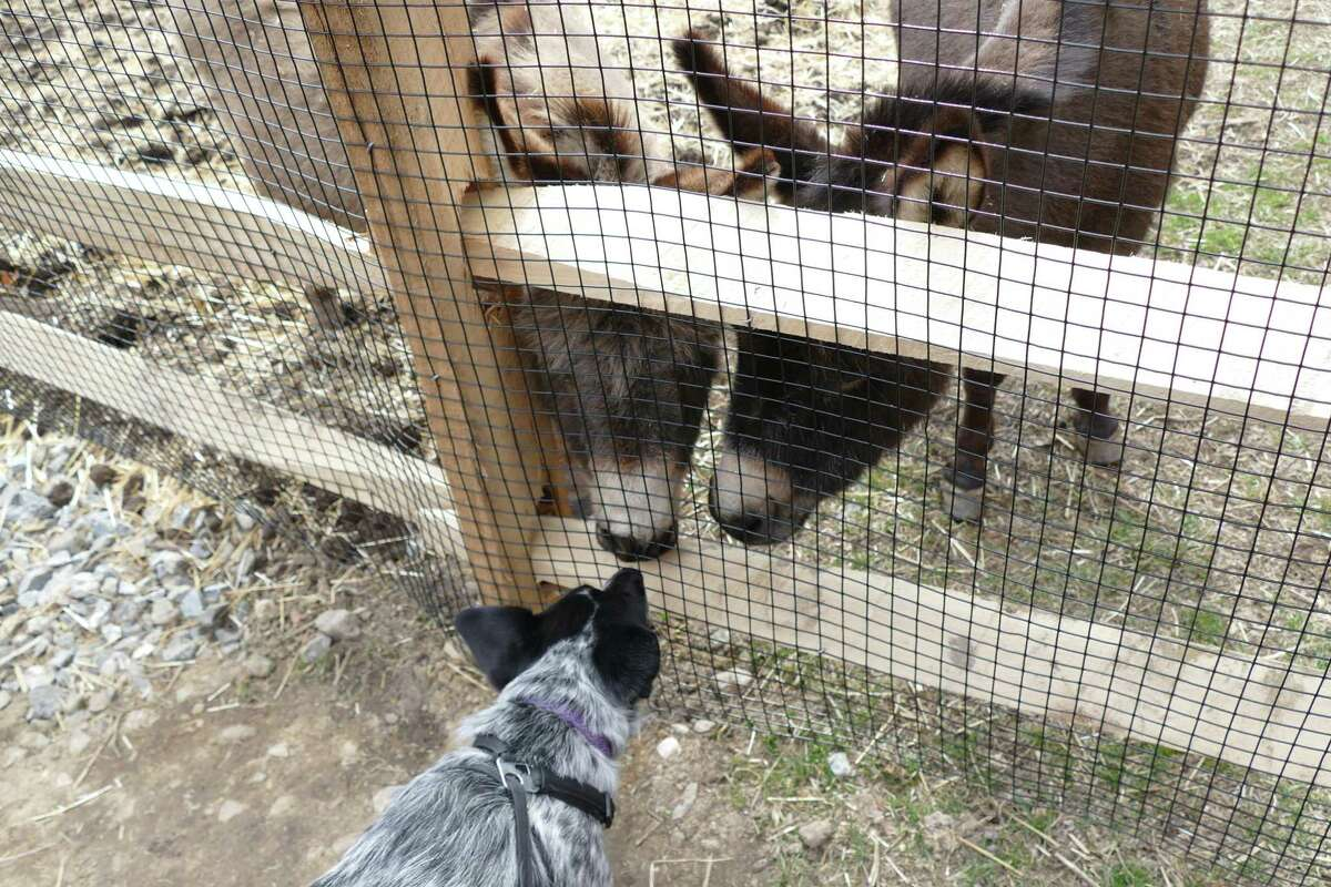 Two therapy donkeys welcome an Australian cattle dog named Lia at the New Canaan Nature Center.