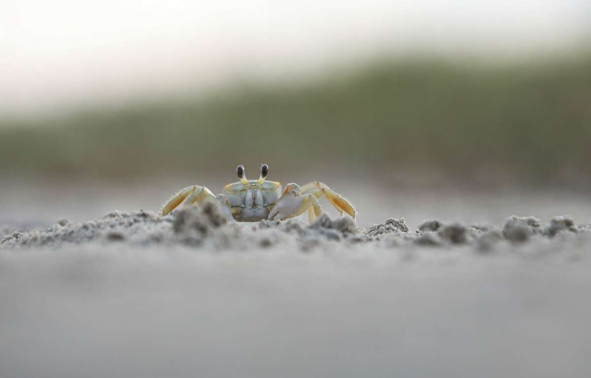 A ghost crab walks across mudflats Thursday, June 17, 2021, in Boca Chicanear Brownsville.