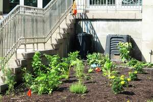 It's harvest time at the community garden outside Middletown City Hall, 245 deKoven Drive. Swiss chard, basil, a sunflower, lettuce, parsley, Brussels sprouts, cucumbers and more grow in soil enriched with Blue Earth Compost.