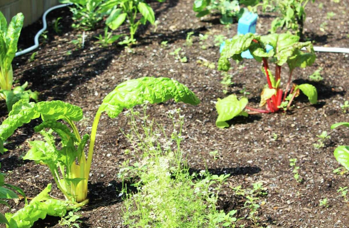 Two types of Swiss chard grow in the community garden outside Middletown City Hall, 245 deKoven Drive.