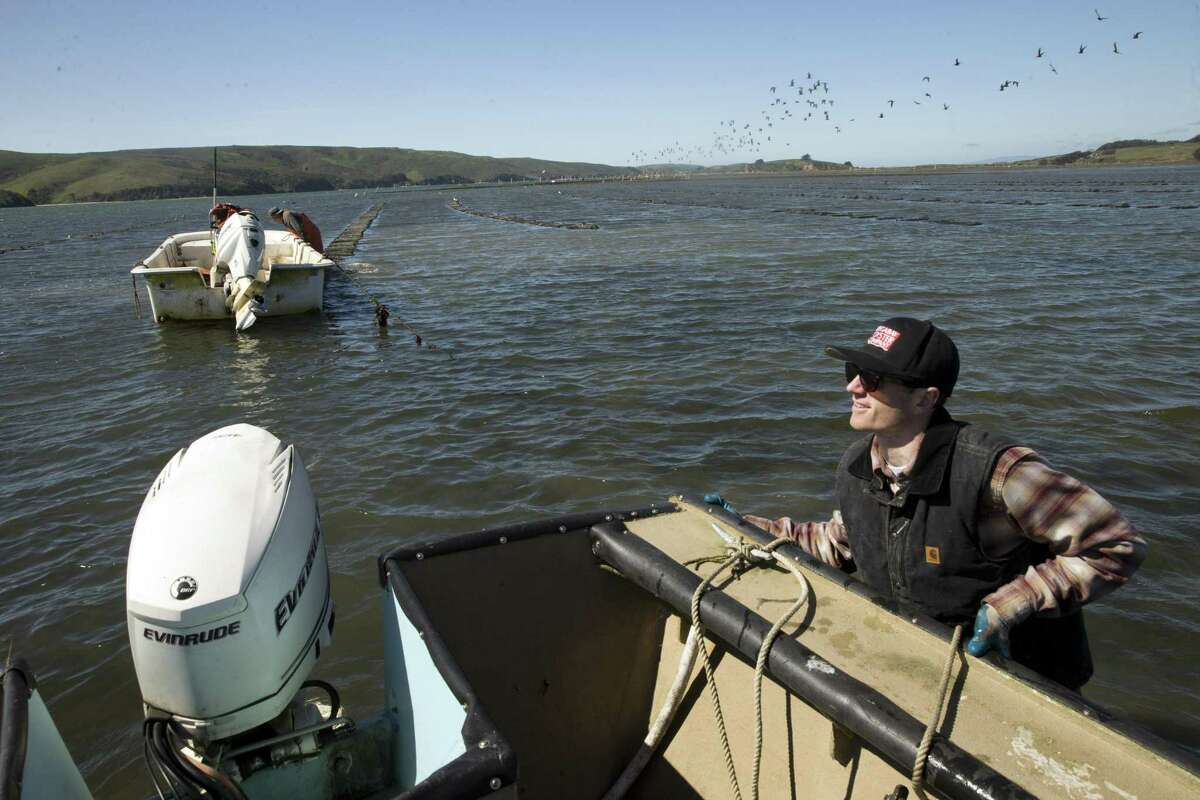 Whitt Strain, manager at Point Reyes Oyster Co., maneuvers his boat near the oyster beds in Marshall, Calif., on Wednesday, March 8, 2017. Strain recently got a call, since-retracted, that some consumers had suffered gastrointestinal distress after eating oysters from his Tomales Bay farm. Initially, the suspect oysters were believed to have come from a part of the bay that's prone to runoff with manure from local dairies during winter storms, which can send fecal coliform into the water that can infect oysters with either vibrio or norovirus. Investigators with the California Department of Public Health now believe the source of the bad oysters is a farm in Washington, but the issue raises questions about how oyster safety is maintained during big winter storms.