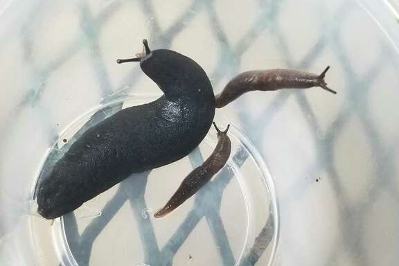 Black velvet leatherleaf slugs can be found out and about on cloudy, humid days.