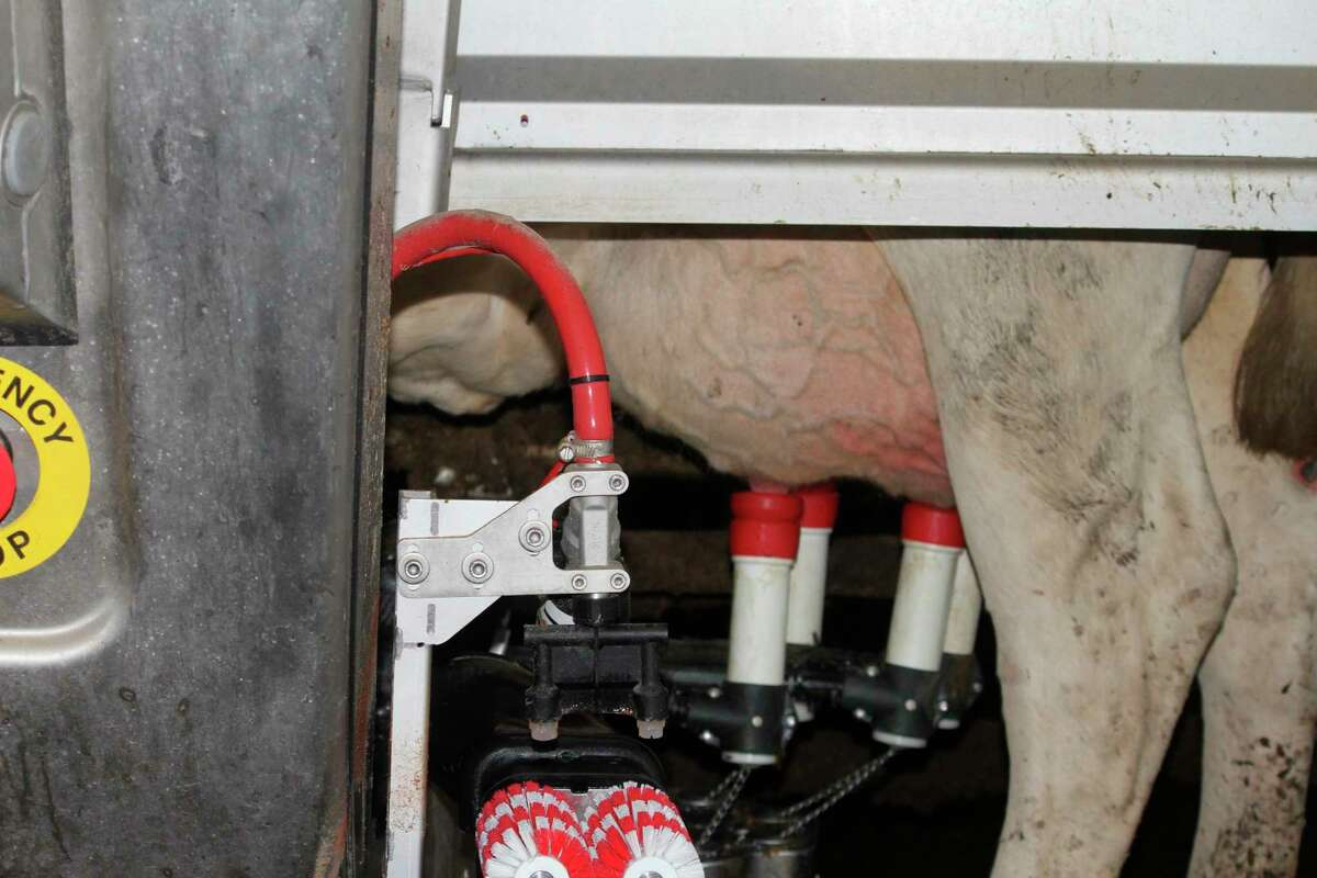 An automated machine milks a cow on the Goodfellow farm in Morley.(Pioneer photo/Olivia Fellows)